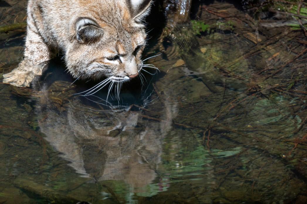 le chat pêcheur